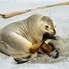 Female New Zealand sea lion (Phocarctos hookeri), Victory Beach