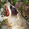New Zealand sea lion (Phocarctos hookeri), Sandfly Bay