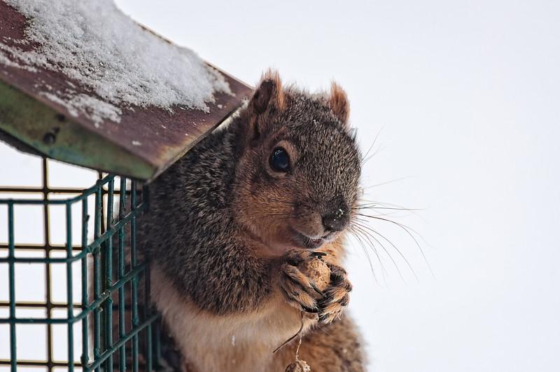 Squirrel with a Peanut