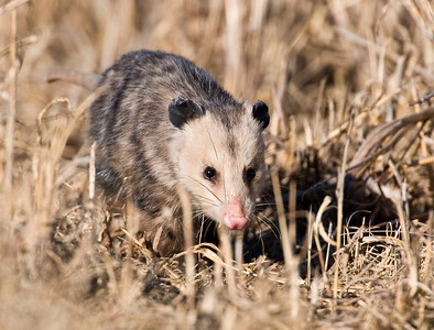 Opossum, Hackberry Flats Wildlife Management Area, OK