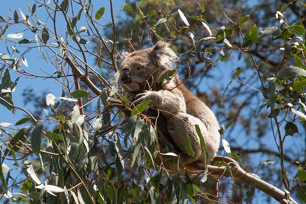 Other Marsupials