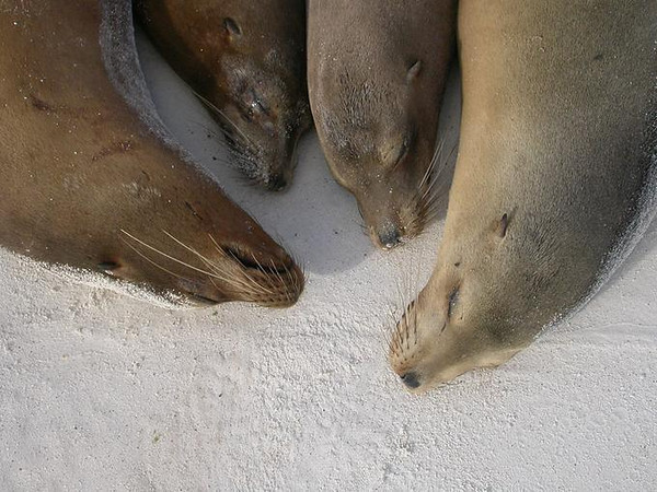 Sleeping Sea Lions