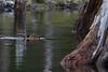 Beaver, Castor