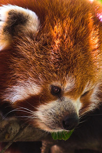 A Red Panda. Look, I know it's not a great photo but it's in focus and the colours are nice. Which is a vast improvement over some of the other stuff I took at the same time.  In fact, this gallery is pretty weak at the moment and I need to get my act together. Or I'll have to have a sit down and have a quiet word with myself.