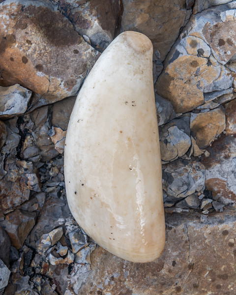 Sperm whale (Physeter macrocephalus) tooth. Long Reef, Fiordland National Park.