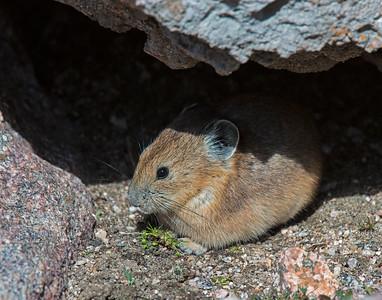 Pika, Mt. Evans Wilderness area, CO