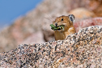 Pika stocking up for winter, Mt. Evans, CO
