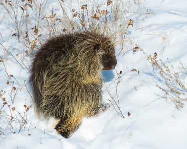 Porcupine, Badlands National Park, SD