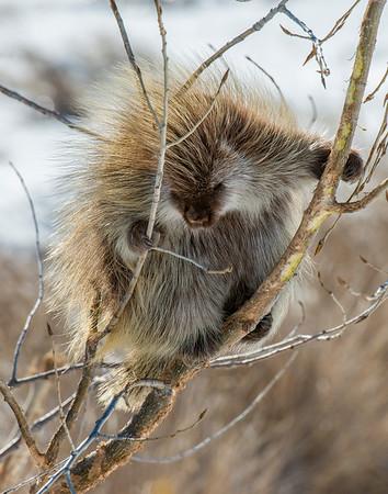 Porcupine, Badlands National Park, SD