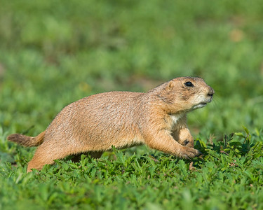 Prairie Dog, Wichita Mountains Wildlife Refuge, OK