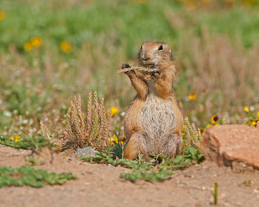 Black-tailed Prairie Dog, Wichita Mountains Wildlife Refuge, OK