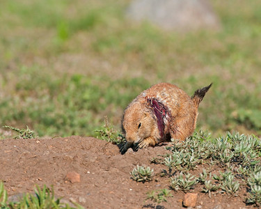 Prairie Dog with bad injury, Wichita Mountains Wildlife Refuge, OK