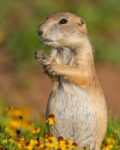 Black-tailed Prairie Dog, Wichita Mountains Wildlife Refuge, OK