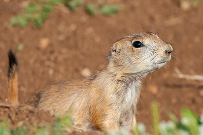 Black-tailed Prairied Dog, Wichita Mountains Wildlife Refuge, OK