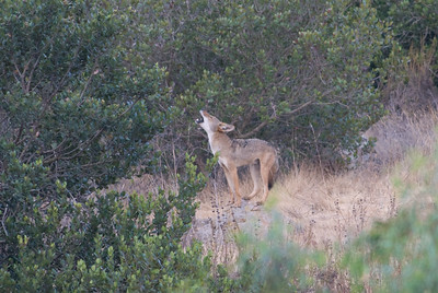 Coyote barking.   Bumann Ranch, Olivenhain, California.