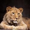 Lion.  San Diego Zoo, San Diego, California.