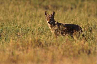 Coyote in field.   Bumann Ranch, Olivenhain, California.
