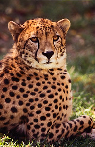 Cheetah.  Wild Animal Park, San Pasqual, California.