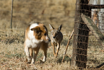 Our dog Patches, trailed by a coyote.   Bumann Ranch, Olivenhain, California.