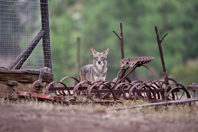 Coyote next to our chicken pen.   Bumann Ranch, Olivenhain, California.
