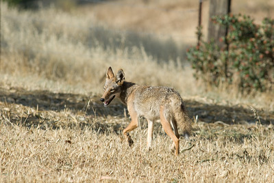 Coyote walking from our yard.   Bumann Ranch, Olivenhain, California.