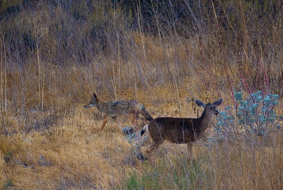 Coyote and mule deer.  Bumann Ranch, Olivenhain, California.