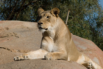Female lion.    Wild Animal Park, San Pasqual, California.