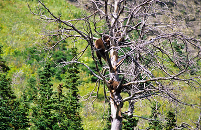 Sow black bear with cubs in tree.  Glacier NP, Montana.
