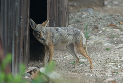 Coyote going into one of our barns.  I never knew a coyote would go in a building and was surprised to see it. 3666 Bumann road, Olivenhain, California.