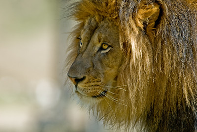 Male lion.    Wild Animal Park, San Pasqual, California.