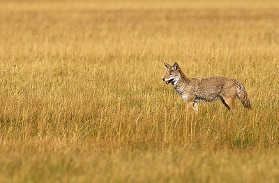 Coyote.  Norris geyser basin, Yellowstone NP, Wyoming.