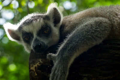 A ring-tailed lemur. Who appears to be mostly unimpressed about having his photo taken. I wonder what 'bloody tourists' translates to in lemur language.