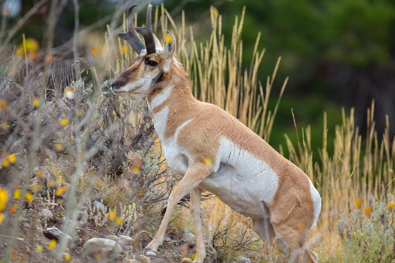 Pronghorn Antelope climbing a ridge
