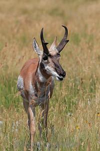 Pronghorn Antlope