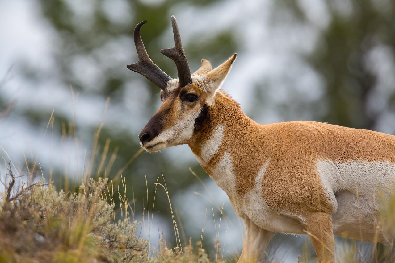 Pronghorn Antelope Close-up
