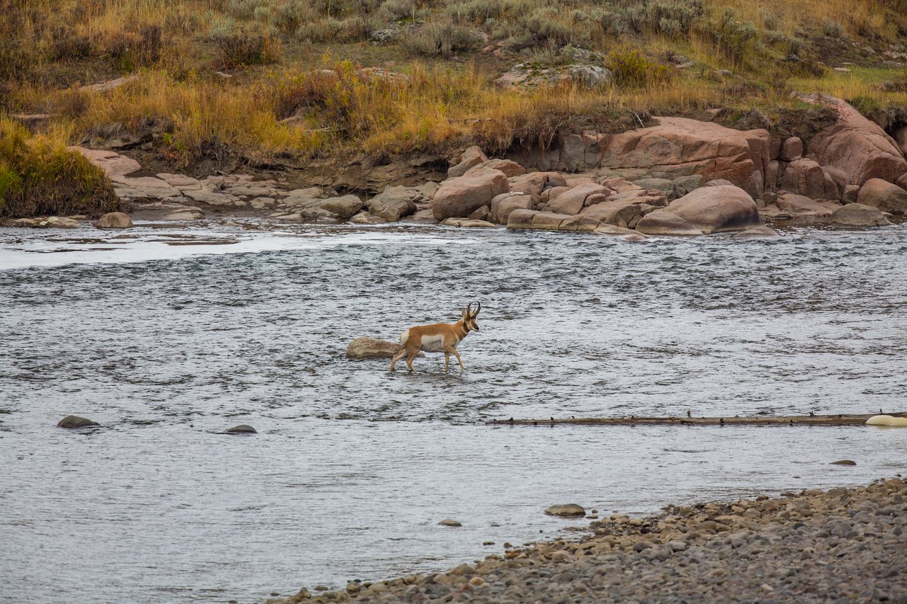 Pronghorn Antelope crossing a river