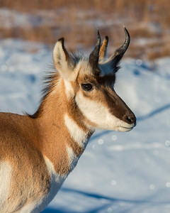 Pronghorn, Wind Cave National park, SD