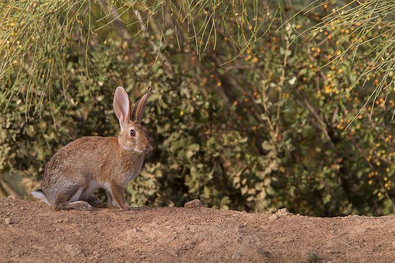 Rabbit near Fuente Camacho (Spain)