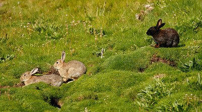 Melanic rabbit in Orkney Islands