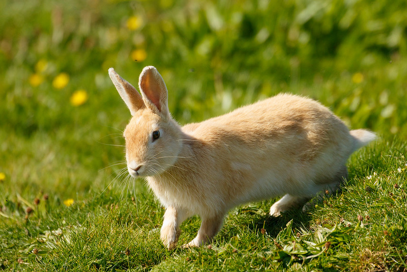 Light-colored Rabbit in Orkney