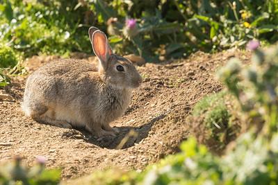 Rabbit in Orkney