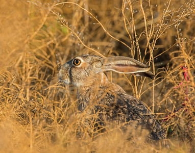 Jackrabbit, Hackberry Flats Wildlife Management Area, OK