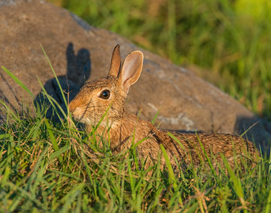 Cottontail Rabbit, Wichita Mountains Wildlife