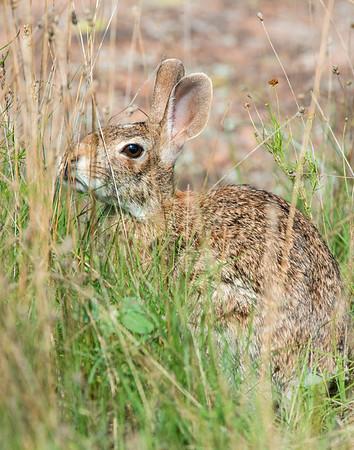 Cottontail Rabbit, Wichita Mountains Wildlife Refuge, OK