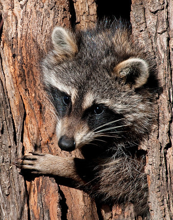 Raccoon, Squaw Creek National Wildlife Refuge, MO