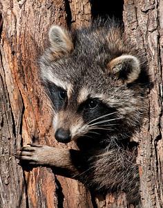 Raccoon, Squaw Creek National Wildlife Refuge, MO