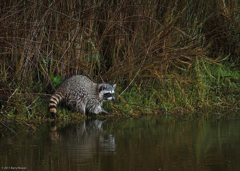 Crepuscular Critter<br /> <br /> A raccoon forages in a brackish lagoon at dawn.