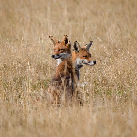 Vixen and Cub