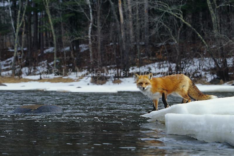 Red Fox, North America
