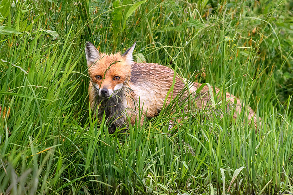 Fox at water's edge